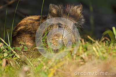 Young wild boar hiding in grass