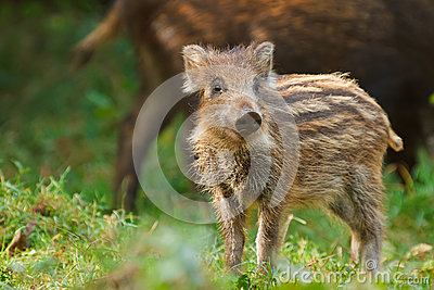 Young wild boar showing his stripes