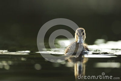 Young wild duck
