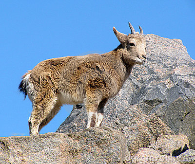 Young wild goat