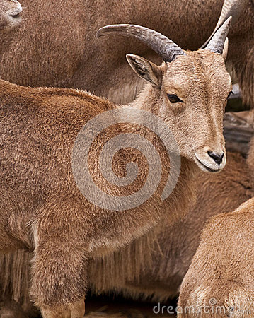 Free Young Wild Goat Stock Photo - 38713380