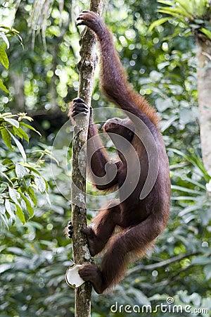 Young wild orangutan, Borneo