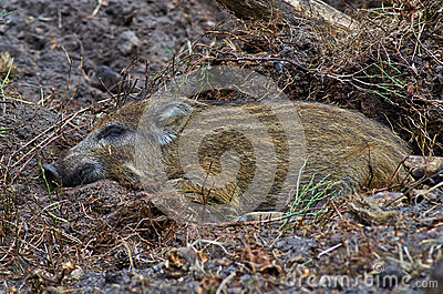 Young wild pig sleeping in the shadow