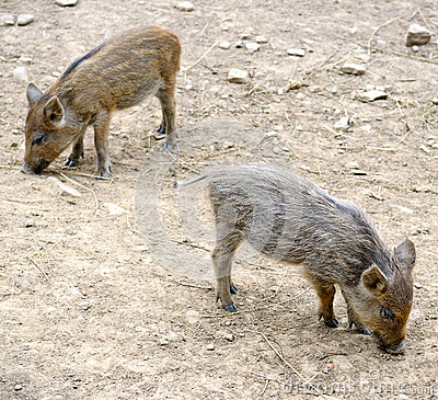 Free Young Wild Pigs Royalty Free Stock Photo - 36842205