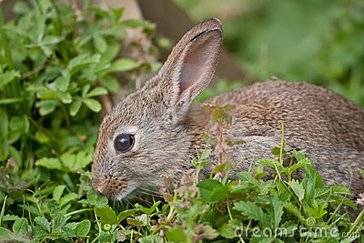 Young wild Rabbit