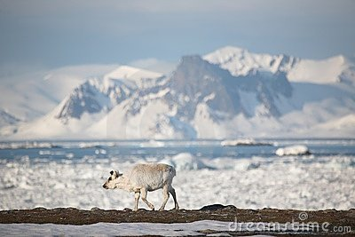 Young wild reindeer in Arctic landsc - Spitsbergen