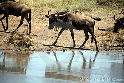 Young Wildebeest (Kenya)