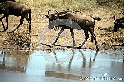 Young Wildebeest (Kenya)