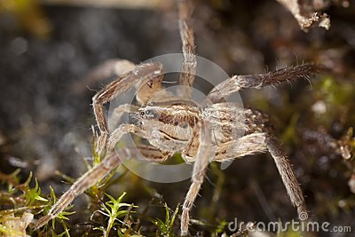 Young wolf spider