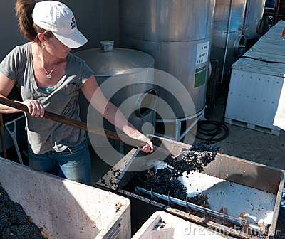 Young woman feeding the grape crusher Editorial Stock Image
