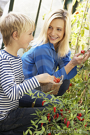Young woman with teenager harvesting tomatoes