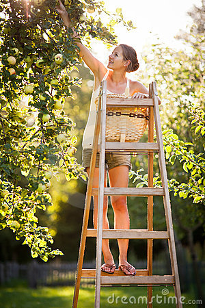 Free Young Woman Up On A Ladder Picking Apples From An Apple Tree Stock Image - 22836551