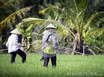 Cultivating rice in vietnam 2 Editorial Stock Photo