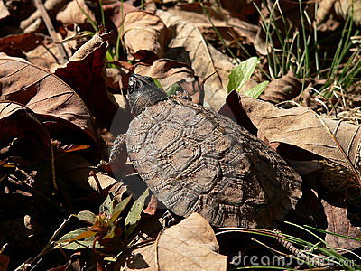 Young Wood Turtle 05
