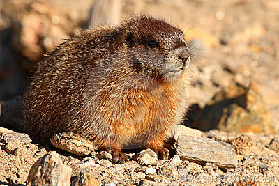 Young Yellow-bellied Marmot