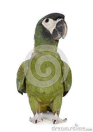 Young Yellow collared Macaw - Primolius auricollis