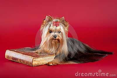 Young Yorkie with old book