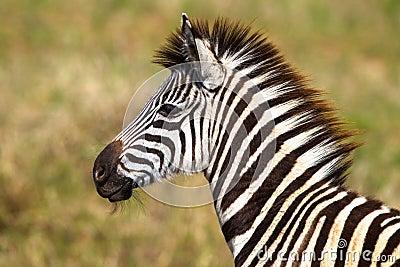 Young Zebra Colt Wildlife