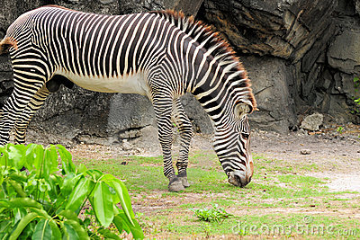 Young Zebra Eating