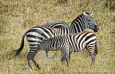 Young Zebra Feeding, Africa