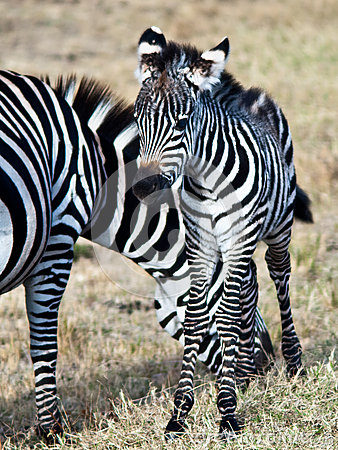 Young zebra standing next to his mother