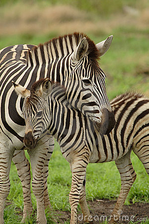 Free Young Zebra With Mum Stock Images - 2031634