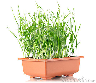 Youthful sucker wheat in brown pot