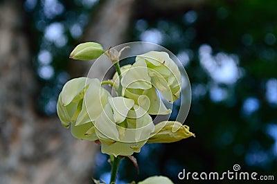 yucca flower closeup