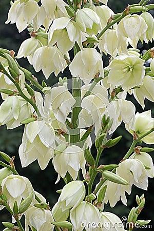 Free Yucca Filamentosa Flowers Stock Image - 52757481