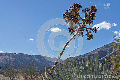 Yucca Plant extends its seeds upward
