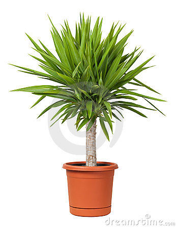 Yucca Potted Plant isolated