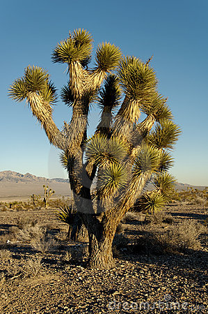 Free Yucca Trees Stock Photography - 4546622