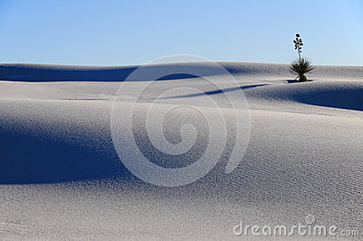 Yucca in the White Sands Dune