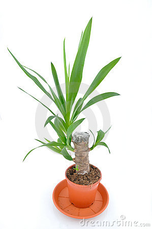 ... Or Yucca Palm Tree Royalty Free Stock Photography - Image: 13547377