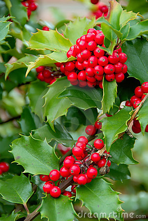 Free Yuletide Holly Berries Stock Photography - 1306262