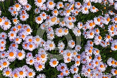 Yun-Nan Aster flowers