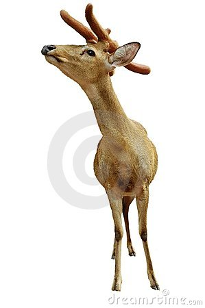 Yung deer isolated on white