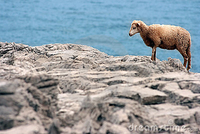 Yung wild sheep