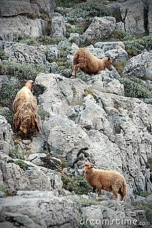 Yung wild sheeps