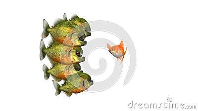 Złota ryba próbująca przetrwać opowiadanie Piranhas, zabawna, konceptualna animacja 3d na białym tle, bezproblemowa zdjęcie wideo