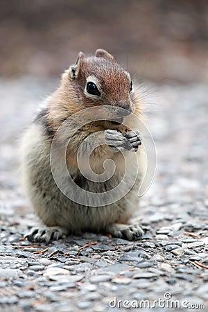 Złota ziemia złota wiewiórka