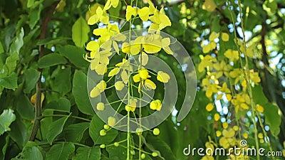 Złotej prysznic drzewo Kwitnie Panning Wysoką definicję zdjęcie wideo