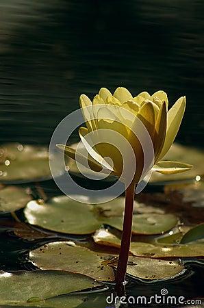 Złota lily wody