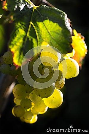 Złoty winogrona wino