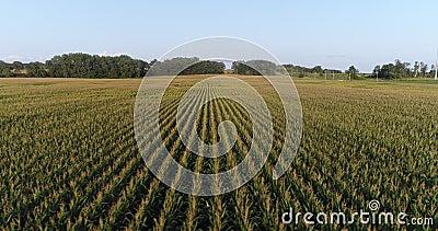 Z ukosa komarnica Kukurydzany pole zbiory wideo