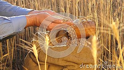Zakenman controleert de kwaliteit van tarwe De handen van de boeren gieten tarwekorrels in een zak met oren Oogst van granen Een stock footage
