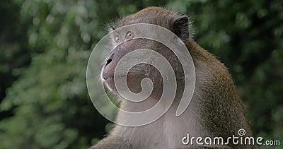 Zakończenie w górę widoku makak przy Batu Zawala się na zamazanym zielonym tle Gombak, Selangor, Malezja zbiory wideo
