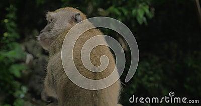 Zakończenie w górę widoku makak przy Batu Zawala się na zamazanym zielonym tle Gombak, Selangor, Malezja zdjęcie wideo