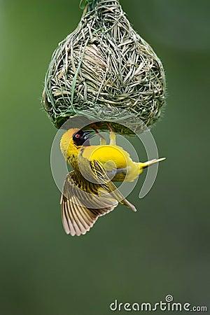 Zamaskowany weaver
