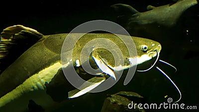 Zamknięcie karmazyna pływającego przez duży gatunek tropikalnych ryb z dorzecza Amazona Ameryki zbiory